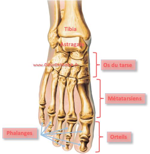 anatomie avant pied