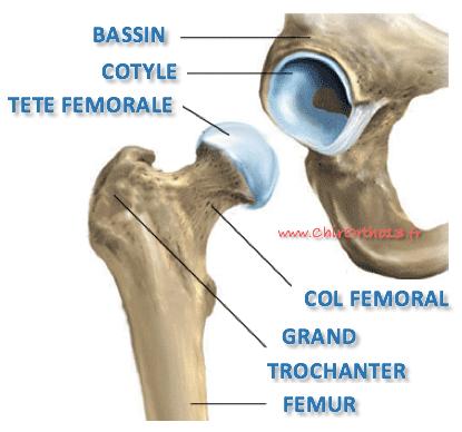 Anatomie de la hanche: cartilage de la tête fémorale et du cotyle.